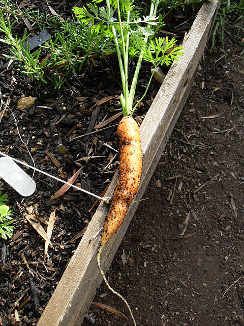 Carrots, even young ones, are best harvested with a fork or shovel.